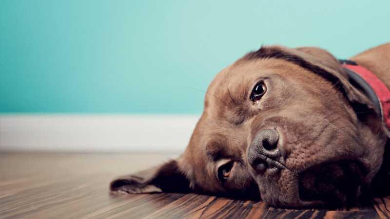 Ako se čini da je vaš pas uvijek bolestan, alergije na hranu mogu biti krivac