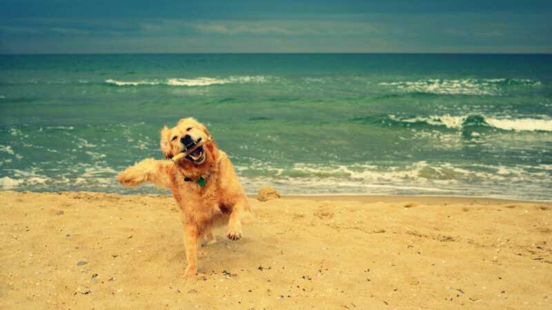 Psi koji vole vodu koji su savršeni pratioci za plažu na plaži