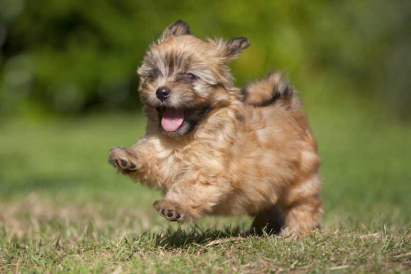 20 malih pasmina pasa koje su Beyond slatko