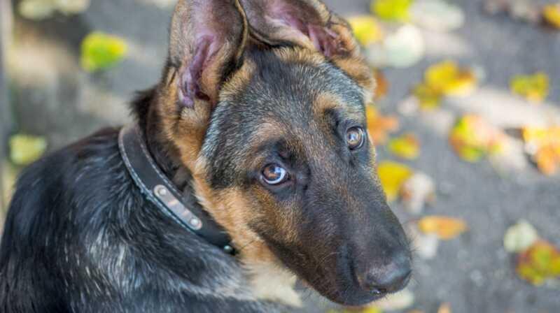 Korofagija je i kako sprečiti psa da to radi