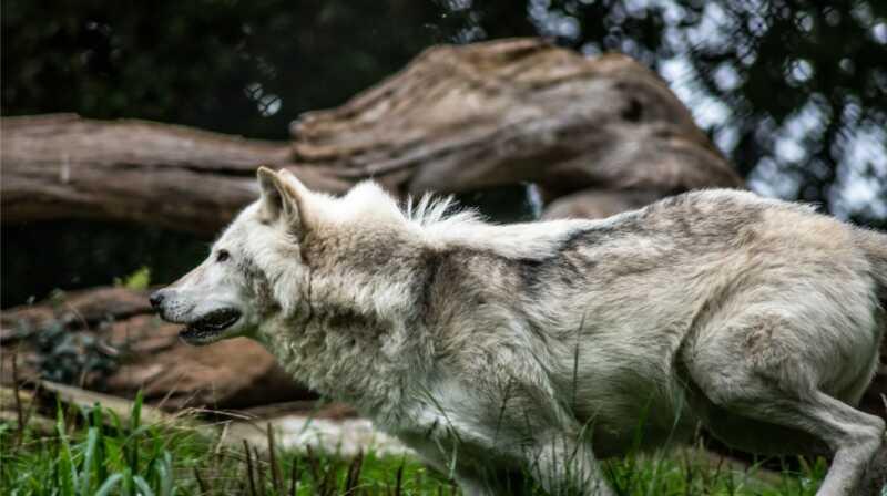 Sve što trebate znati o hibridima vukodlaka