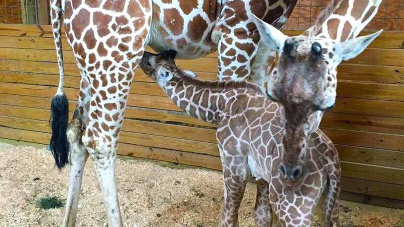 Hjälp namnet april giraffens baby, för vad gör du mer?