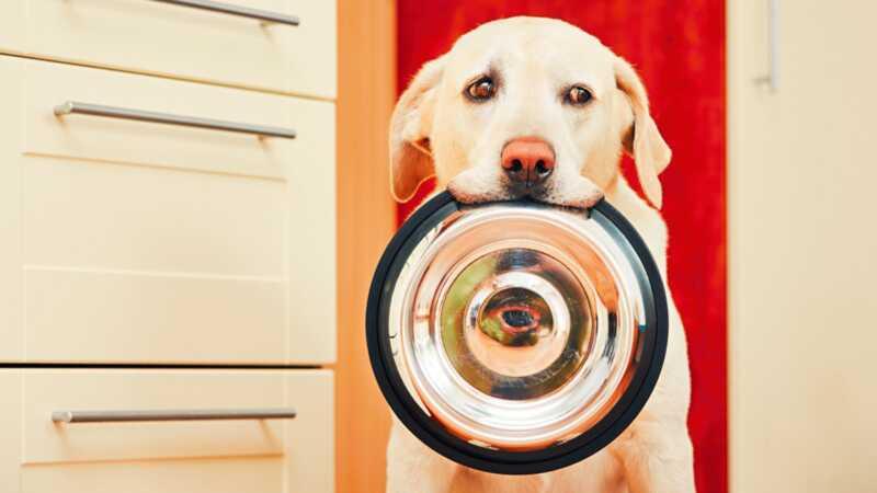 Kuidas käituda koer, kes on vali sööja