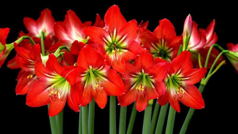 Hur bryr du dig om din amaryllis så det fortsätter att blomma efter semestern