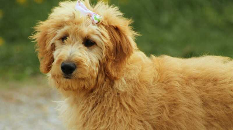 Šios madingos dizainerių šunų veislės jus grąžins tūkstančius dolerių