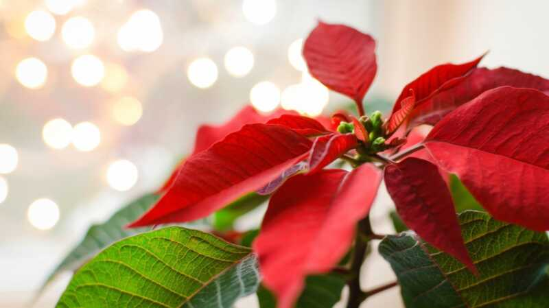Så här håller du din poinsettia växt blomstrande året runt