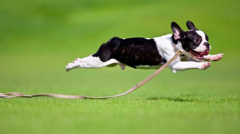 Miksi koirat saavat satunnaisia purskeita energiaa?