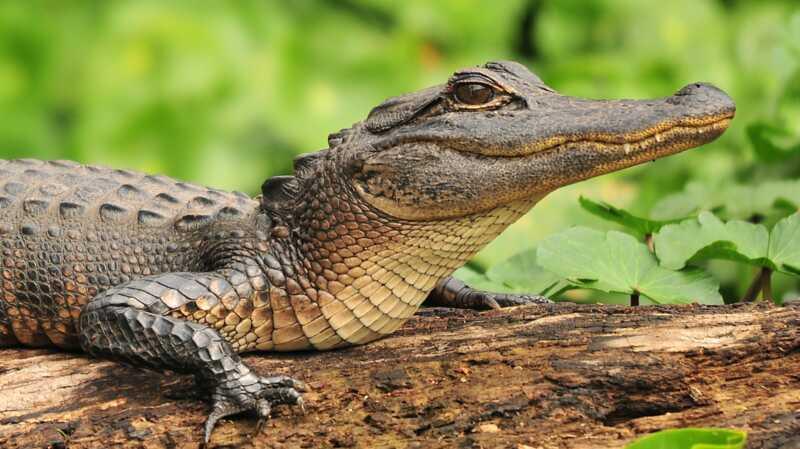 5 endroits en Floride pour voir les alligators dans leur habitat naturel