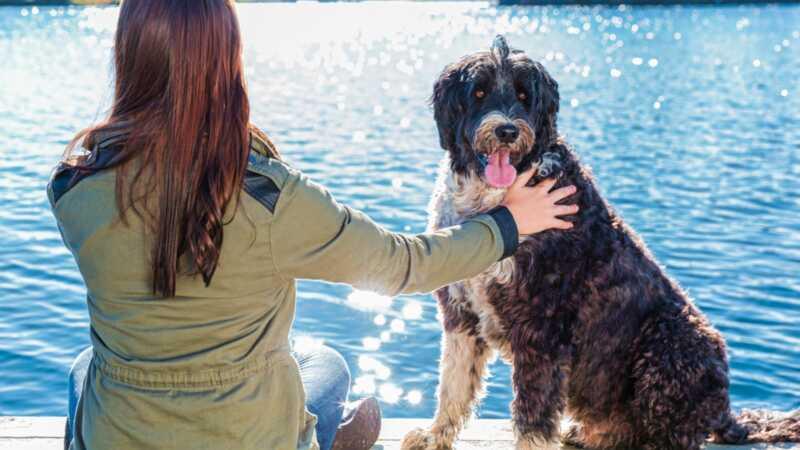 Ako želite odanog psa koji voli da pliva, pogledajte portugalski vodeni pas
