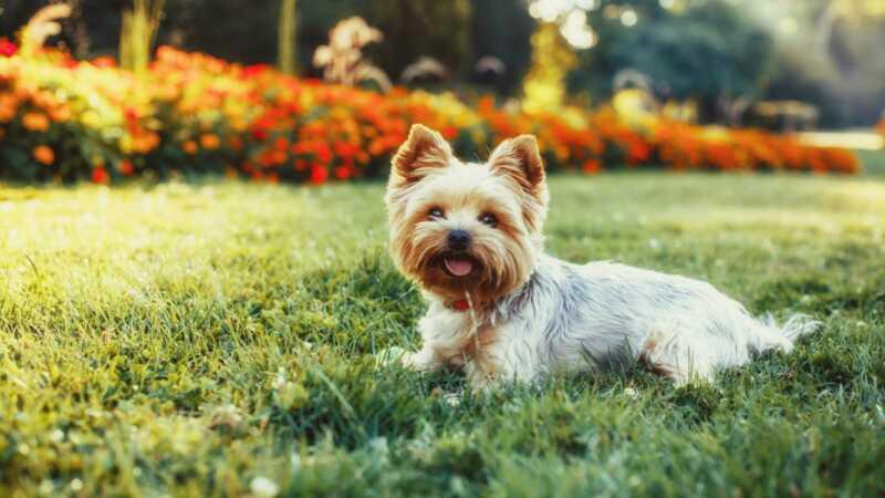 17 saker bara Yorkshire Terrier ägare förstår