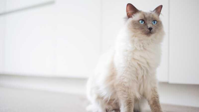 10 pasmina mačaka koje imaju apsolutno najbolje osobnosti