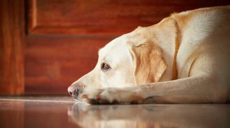 Allt du behöver veta om den nya bullerangstmedicinen för hundar