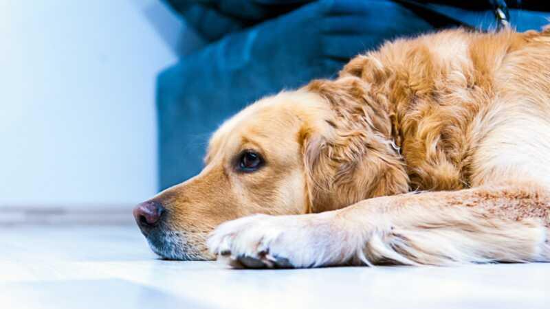 Ponašaju li psi u žalosti na isti način na koji ljudi rade?