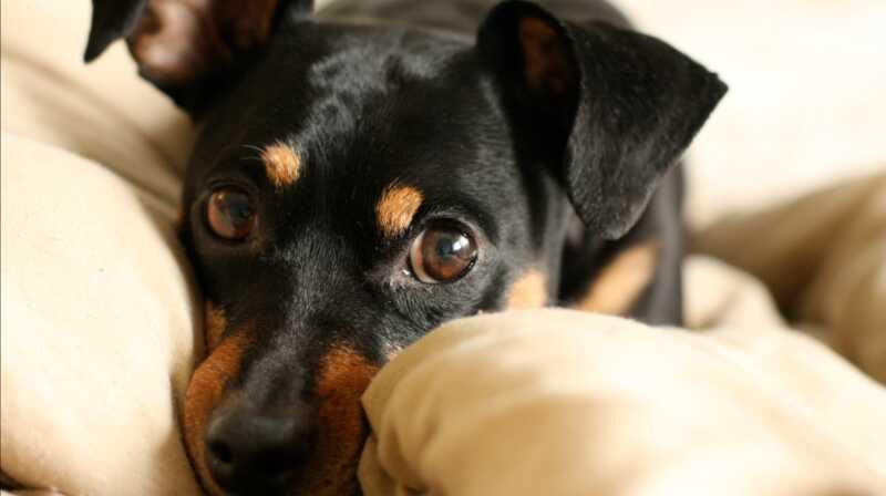 Parafimoza je neobičan uvjet za pseće penis koji trebate znati