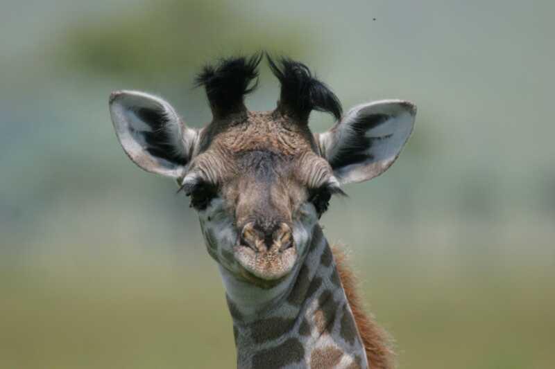 Noi trăim pentru luna aprilie furajul de naștere al girafei