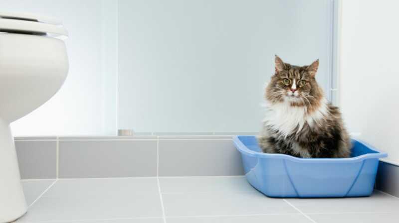 Stellt sich heraus, Wurftraining Ihre Katze ist ähnlich wie Töpfchentraining Ihr Kind